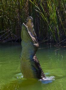 Qué fauna habita en el clima tropical seco - Cocodrilos
