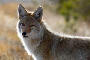 Fauna de clima desértico - Coyote