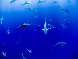 Cómo se comportan los tiburones