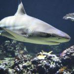 Respiración de los Tiburones: ¿Cómo lo Hacen?