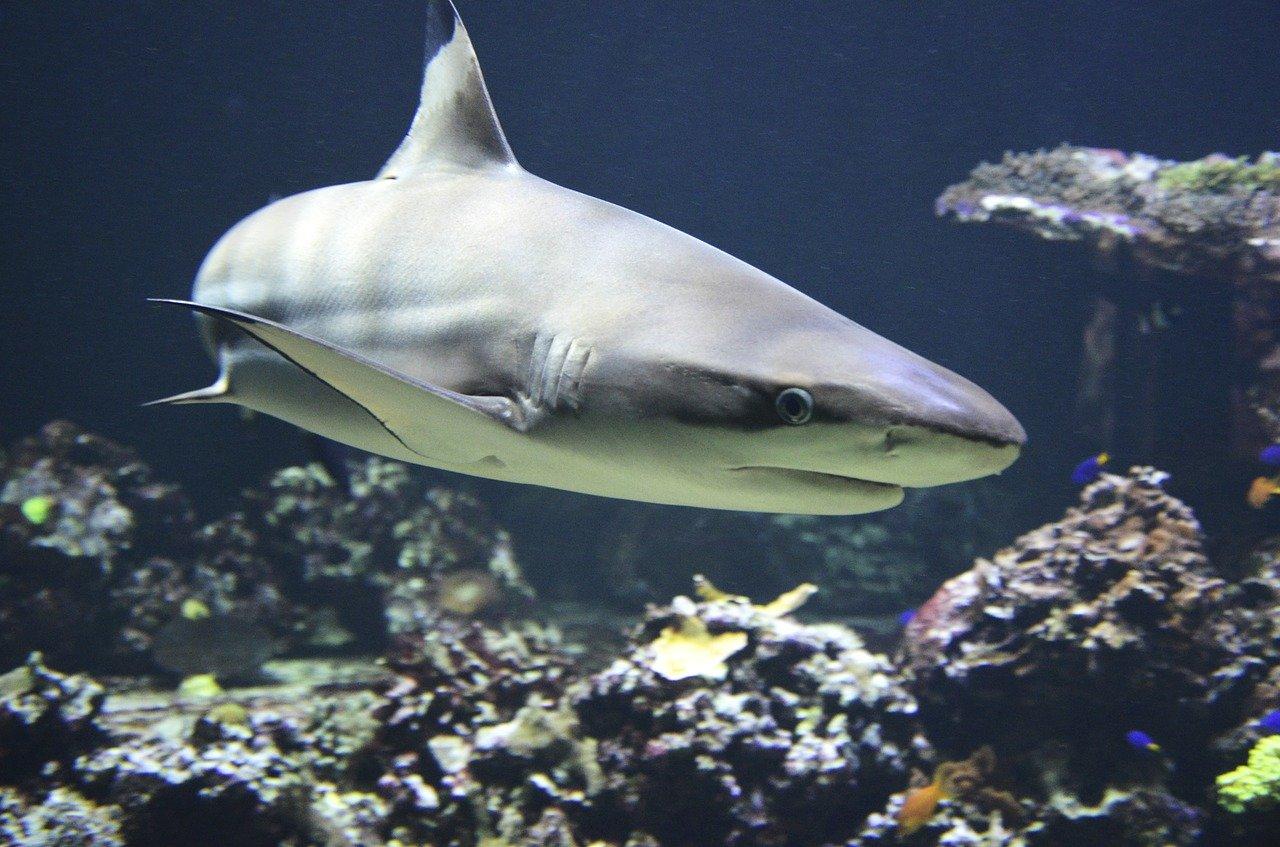 Cuántas branquias tiene un tiburón