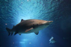 Dónde viven los tiburones linterna