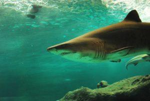 Cuánto pueden medir y pesar los tiburones linterna