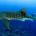 Tiburón Ballena: [Hábitat, Alimentación, Reproducción y Enemigos Naturales]