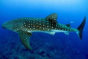 Dónde viven los tiburones ballena