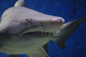 Dentadura del tiburón