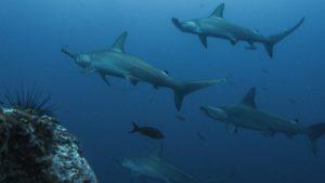 Cuántos tiburones puede tener una hembra