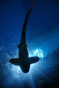 Cómo cazan los tiburones