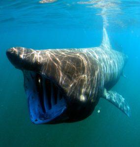 De qué se alimentaban los tiburones prehistóricos