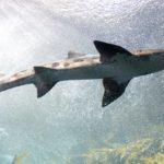 La Alimentación de los Tiburones: ¿Qué? ¿Cuánto? y ¿Cada cuánto tiempo?