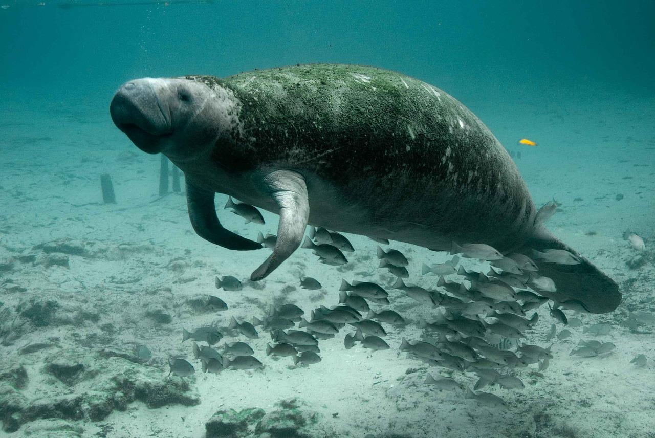 Animales marinos en peligro de extinción - La vaquita marina