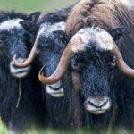 Los [4 Animales de la Tundra] más Conocidos y Famosos