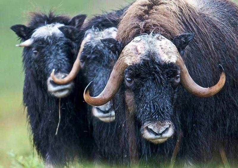 Animales de la tundra - Buey almizclero