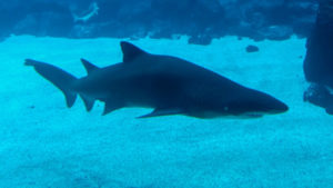 Dónde viven los tiburones de agua dulce