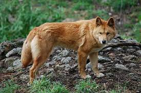 5 animales característicos de Australia - Dingo
