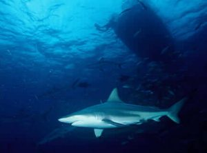 5 animales característicos de Australia - Gran tiburón blanco
