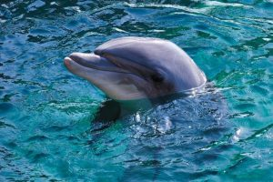 5 animales característicos delas islas Canarias - Delfín mular