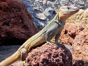 5 animales característicos delas islas Canarias - Lagarto de Gran Canaria