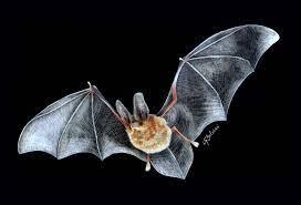 5 animales característicos delas islas Canarias - Murciélago orejudo