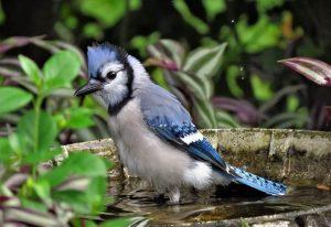 5 animales característicos delas islas Canarias - Pinzón azul de Tenerife