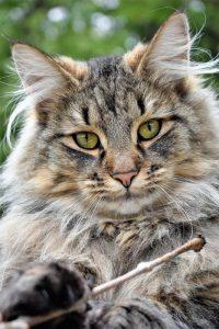 5 animales característicos del bosque caducifolio - Gato montés