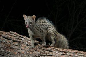 5 animales característicos del bosque caducifolio - Gineta