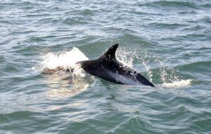 5 animales característicos del océano Pacífico - Delfín de lados blancos