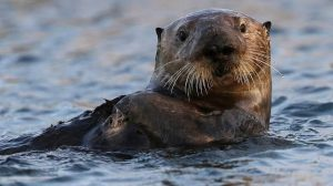 5 animales característicos del océano Pacífico - Nutria del Pacífico