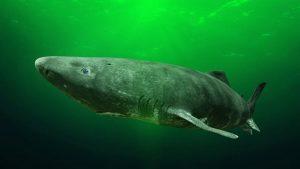 5 animales característicos del océano Pacífico - Tiburón dormilón (Somniosus pacificus)
