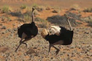 5 animales e insectos más característicos del desierto - Avestruz del Sahara