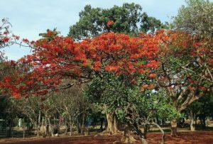 5 plantas y árboles característicos de Australia - Árbol de fuego