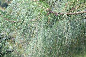 5 plantas y árboles característicos de Australia - Pino australiano