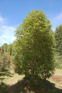5 plantas y árboles característicos delocéano Pacífico - Canelo de Magallanes