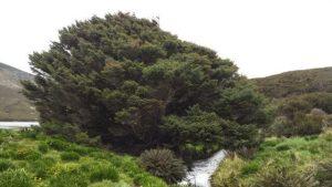 5 plantas y árboles característicos delocéano Pacífico - El árbol solitario