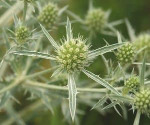 5 plantas más características del desierto - Corredora