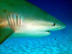 Animales característicos de la región Caribe - Tiburón toro