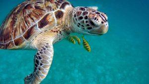 Animales característicos de la región Caribe - Tortuga carey