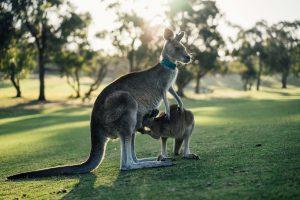Qué fauna predomina en el clima de Australia