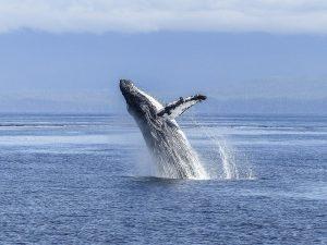 5 animales característicos del océano Pacífico - Ballena