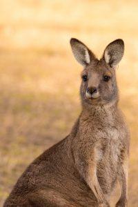 5 animales característicos de Australia - Canguro