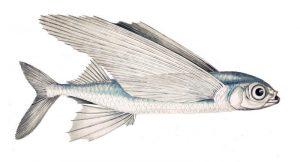 Cheilepogon exsiliens