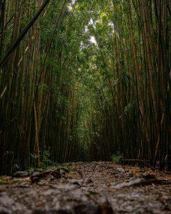 Cómo es el suelo en el bosque de bambú
