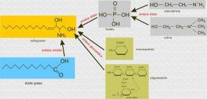 Cómo se denomina la unidad estructural de los esfingolípidos