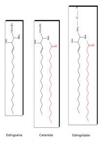 Cuál es la función de los esfingolípidos
