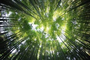 Dónde se ubican los bosques de bambú geográficamente