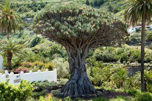 5 plantas y árboles característicos de las islas Canarias - Drago