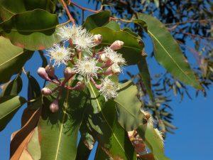 5 plantas y árboles característicos de Australia - Eucalipto