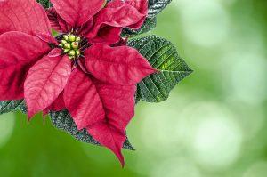 5 plantas y árboles característicos del bosque tropical - Flor de pascua