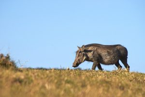Animales más característicos del bosque mediterráneo - Jabalí