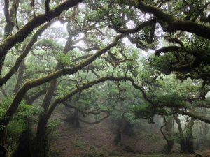 5 plantas y árboles característicos de las islas Canarias - Laurisilva